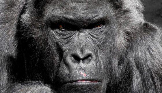 gorilla-752875_1280